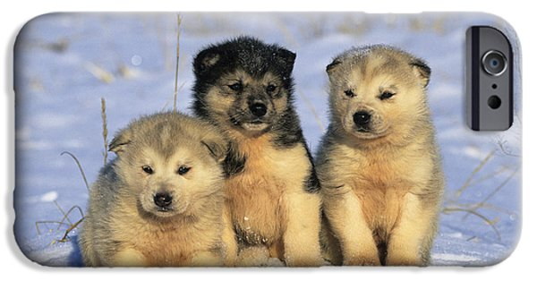 Huskies Photographs iPhone Cases - Husky Puppies iPhone Case by Jean-Louis Klein & Marie-Luce Hubert