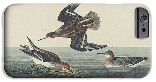 Seagull Drawings iPhone Cases - Hyperborean Phalarope iPhone Case by John James Audubon