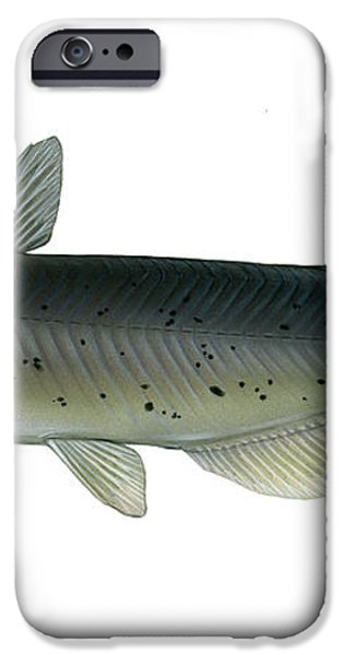 Illustration Of A Channel Catfish iPhone Case by Carlyn Iverson