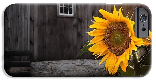 Sunflowers iPhone Cases - In the Light iPhone Case by Bill  Wakeley