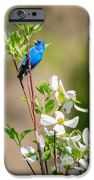 Bunting iPhone Cases - Indigo Bunting in Flowering Dogwood iPhone Case by Bill Wakeley