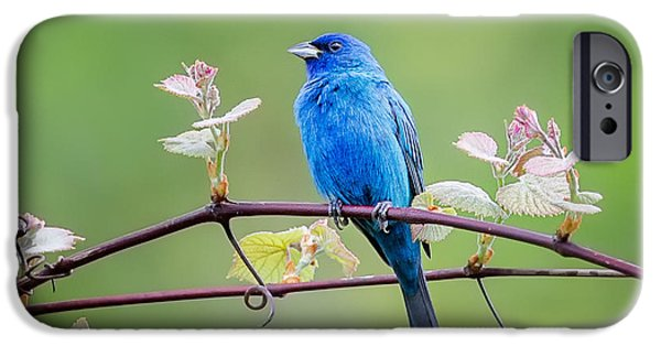 Bunting iPhone Cases - Indigo Bunting Perched iPhone Case by Bill Wakeley