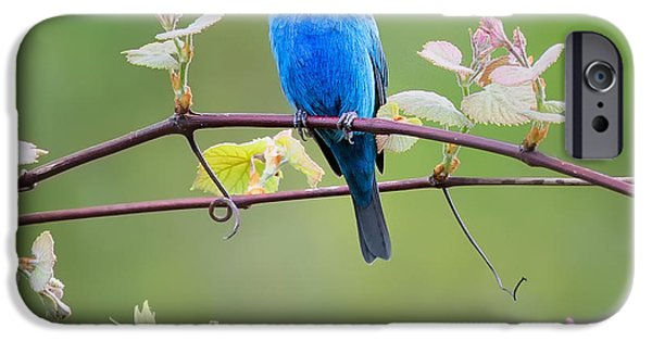 Bunting iPhone Cases - Indigo Bunting Perched Square iPhone Case by Bill Wakeley