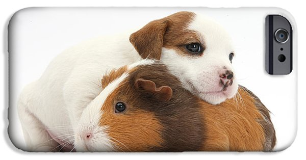 House Pet iPhone Cases - Jack Russell Terrier Puppy Guinea Pig iPhone Case by Mark Taylor