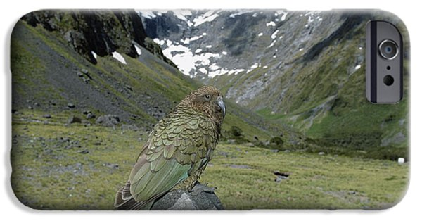 New Individuals iPhone Cases - Kea Nestor Notabilis Perching On Rock iPhone Case by Konrad Wothe