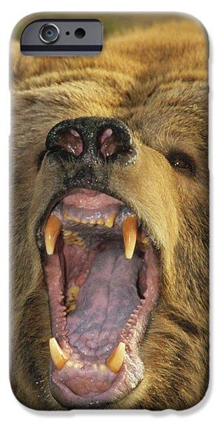 Growling iPhone Cases - Kodiak Bear Ursus Arctos Middendorffi iPhone Case by Matthias Breiter