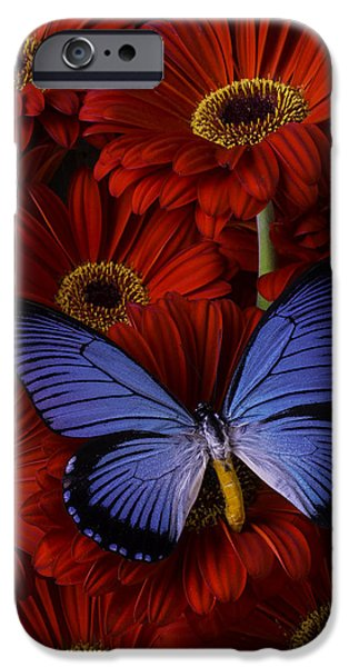 Insects Photographs iPhone Cases - Large Blue Butterfly iPhone Case by Garry Gay