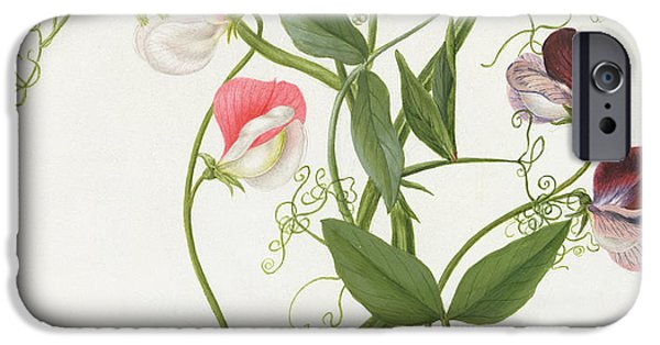 Flora Drawings iPhone Cases - Lathyrus Odoratus iPhone Case by Matilda Conyers
