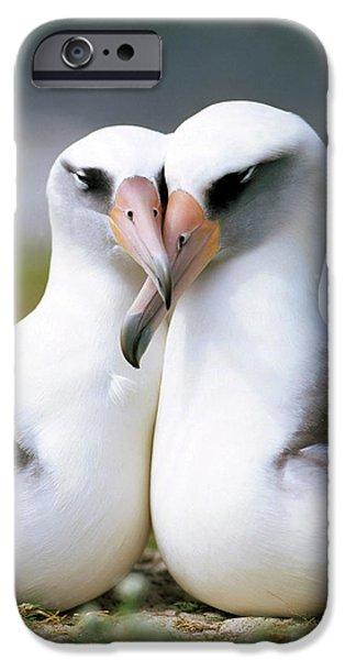 Bonding iPhone Cases - Laysan Albatross Phoebastria iPhone Case by Tui De Roy
