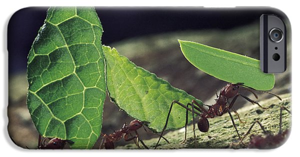 Ant iPhone Cases - Leafcutter Ant Atta Cephalotes Workers iPhone Case by Mark Moffett