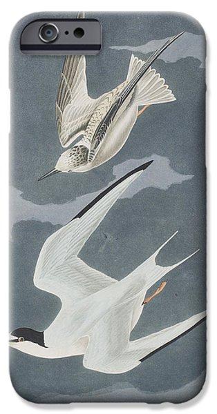 Tern iPhone Cases - Lesser Tern iPhone Case by John James Audubon