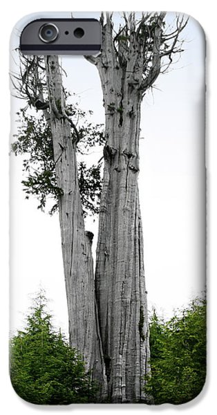 Life at the Top - Duncan Cedar Olympic National Park WA iPhone Case by Christine Till