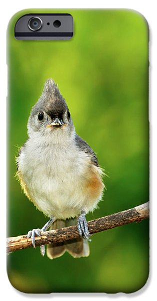 Tufted Titmouse iPhone Cases - Liking My Style iPhone Case by Betty LaRue