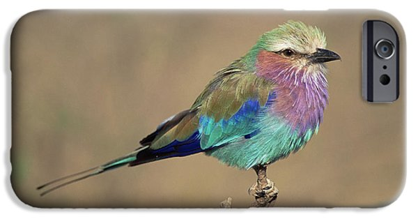 Recently Sold -  - Fauna iPhone Cases - Lilac-breasted Roller Coracias Caudata iPhone Case by Gerry Ellis