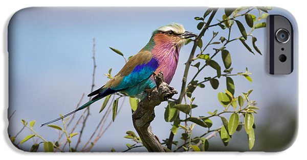 Nation iPhone Cases - Lilac-breasted Roller in Botswana iPhone Case by Joscelyn Paine