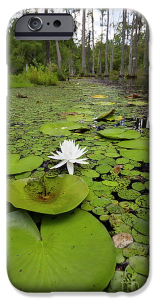 Swamp iPhone Cases - Lilypads and Flower in the Cypress Swamp iPhone Case by Dustin K Ryan