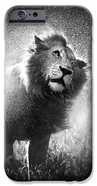 Monotone Photographs iPhone Cases - Lion shaking off water iPhone Case by Johan Swanepoel