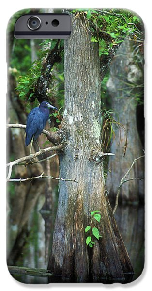 National Preserves iPhone Cases - Little Blue Heron in Cypress iPhone Case by John Burk