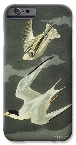 Ocean Drawings iPhone Cases - Little Tern iPhone Case by John James Audubon