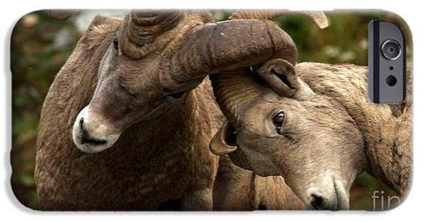 Animals Photographs iPhone Cases - Locking Horns iPhone Case by Adam Jewell