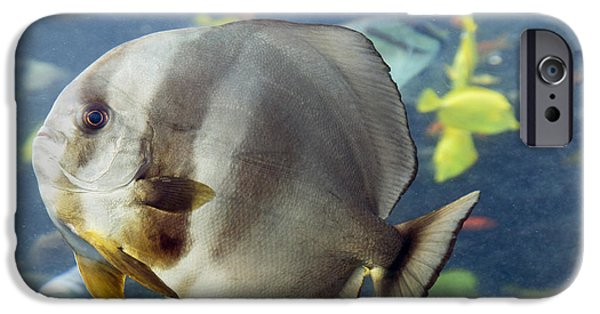 Cutler iPhone Cases - Longfin Batfish iPhone Case by Betsy C  Knapp