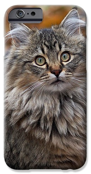 Cat Art iPhone Cases - Maine Coon Cat iPhone Case by Rona Black