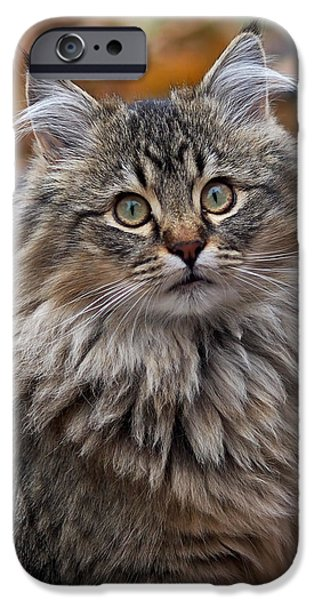 Kitten iPhone Cases - Maine Coon Cat iPhone Case by Rona Black
