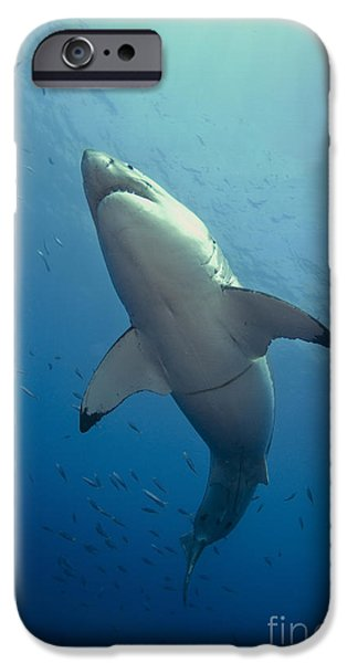 Male Great White Sharks Belly iPhone Case by Todd Winner