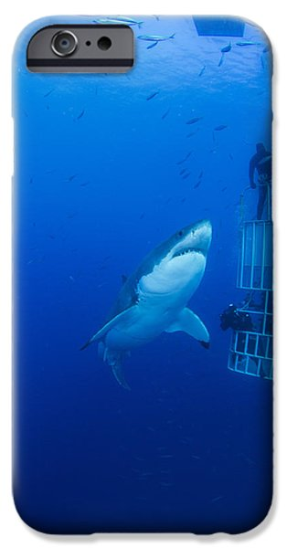 Male Great White With Cage, Guadalupe iPhone Case by Todd Winner
