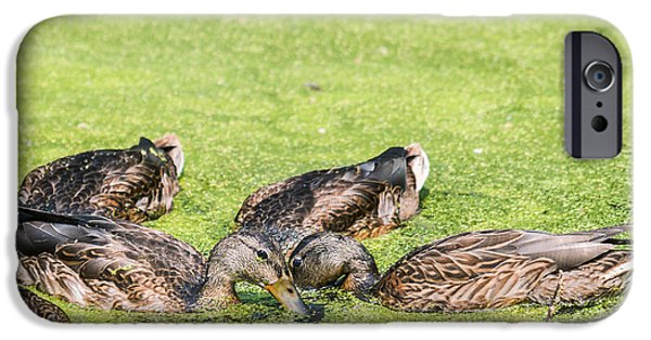 Nebraska iPhone Cases - Mallards Coming Up For Air iPhone Case by Edward Peterson