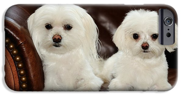Maltese Puppy iPhone Cases - Maltese - Spa Day iPhone Case by Mike Hendren