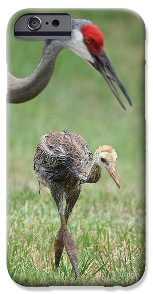 Baby Bird iPhone Cases - Mama and Juvenile Sandhill Crane iPhone Case by Carol Groenen