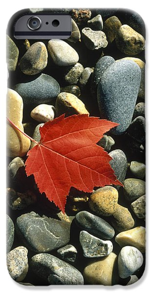 Leaf Change iPhone Cases - Maple Leaf On Pebbles iPhone Case by Panoramic Images