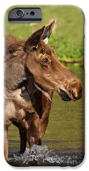 Moose In Water iPhone Cases - Maroon Bells Moose Portrait iPhone Case by Adam Jewell