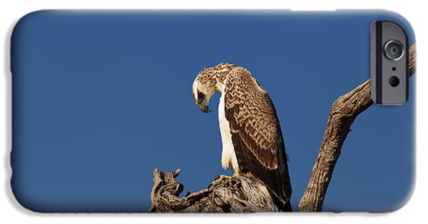 Juveniles iPhone Cases - Martial Eagle iPhone Case by Johan Swanepoel