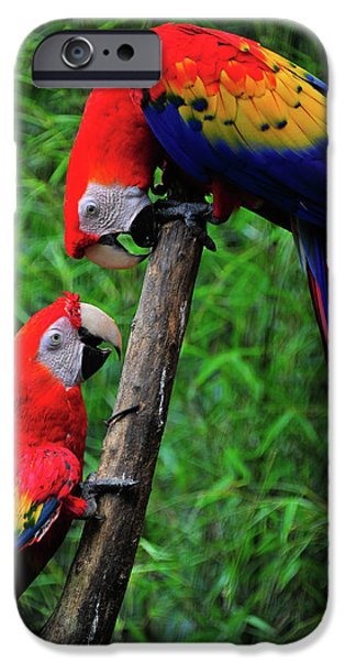 Meeting of the Macaws  iPhone Case by Harry Spitz