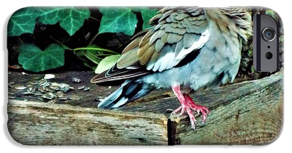 Birds iPhone Cases - Molting whitewing dove iPhone Case by Michael Dillon