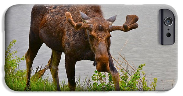 Animals Photographs iPhone Cases - Grand Tetons Moose iPhone Case by Joan Kaplan