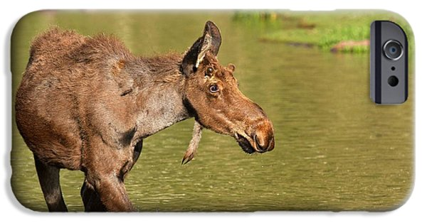 Moose In Water iPhone Cases - Moose In Maroon Lake iPhone Case by Adam Jewell