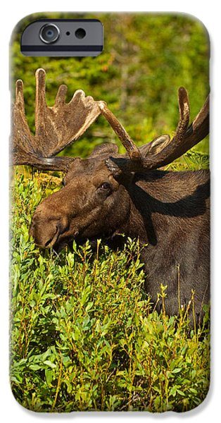Bull Moose iPhone Cases - Moose iPhone Case by Sebastian Musial