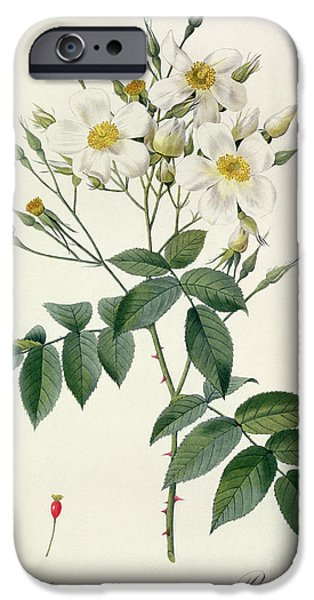 Plant Drawings iPhone Cases - Musk Rose iPhone Case by Pierre Joseph Redoute