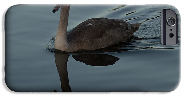 Animals Photographs iPhone Cases - Mute Swan Cygnet Cygnus olor iPhone Case by Robert Carr