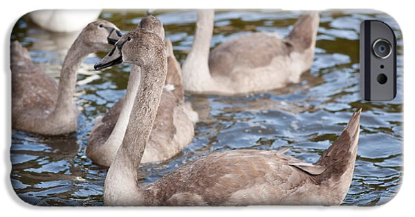 Swans... iPhone Cases - Mute swan cygnets bevy birds iPhone Case by Arletta Cwalina