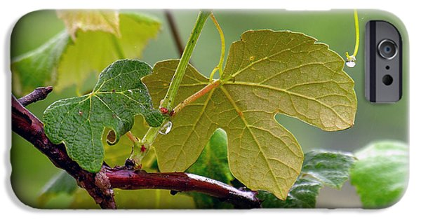 Concord Grapes iPhone Cases - My Grapvine iPhone Case by Robert Meanor