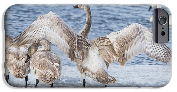 Hudson River iPhone Cases - Juvenile Swan Wingspread iPhone Case by Patti Deters
