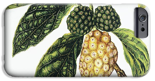 Fruit Tree Paintings iPhone Cases - Noni Fruit iPhone Case by Hawaiian Legacy Archive - Printscapes