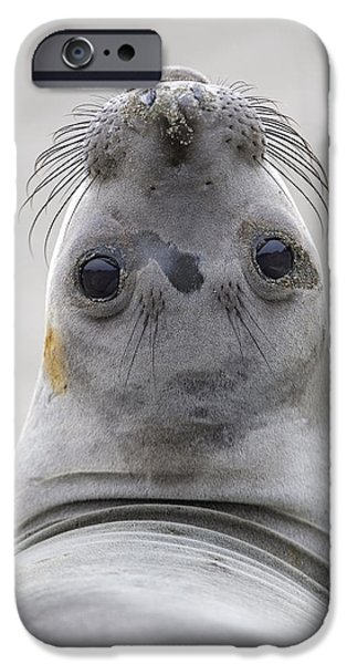Northern Elephant Seal Looking Back iPhone Case by Ingo Arndt