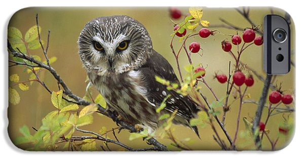 Vertebrata iPhone Cases - Northern Saw Whet Owl Perching iPhone Case by Tim Fitzharris