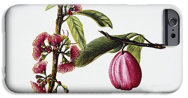 Fruit Tree Paintings iPhone Cases - Ohiaai iPhone Case by Hawaiian Legacy Archive - Printscapes