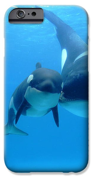 Orca Orcinus Orca Mother And Newborn iPhone Case by Hiroya Minakuchi
